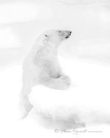 """Praying"", Polar Bear, Spitsbergen, Berents Sea"