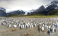 """20,000 Breeding Pairs"",  King Penguin Rookery,  Gold Harbor,  S"