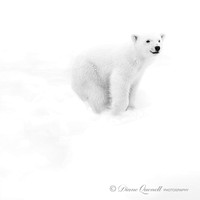 Polar Bear Cub, Spitsbergen, Berents Sea