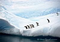 """You Go First"",  Gentoo Penguins on Iceberg,  Errera Channel,  A"