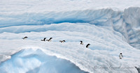 Gentoo Penguins on Iceberg,  Errera Channel,  Antarctica