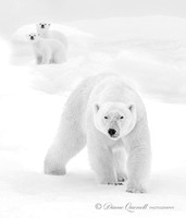 Polar Bear and Cubs, Spitsbergen, Berents Sea