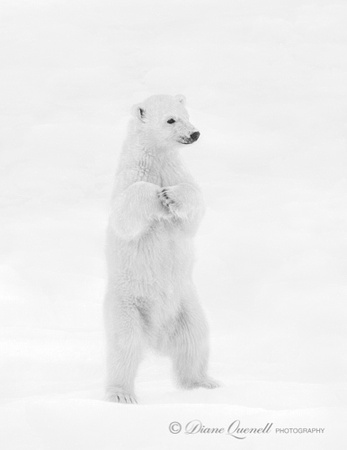 """What Me?"", Polar Bear Cub, Spitsbergen, Berents Sea"
