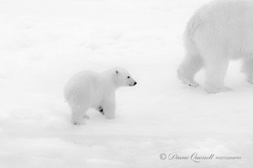"""Follow Me"", Polar Bear and Cub, Spitsbergen, Berents Sea"