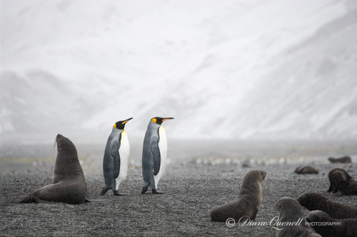 """Penguins in the Mist"",  South Georgia"