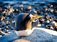 Gentoo Penguin,  Brown Bluff,  Antarctica