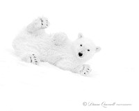 """Just Wait Until I Grow Up"", Polar Bear Cub, Spitsbergen, Berent"