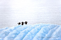 """All Together Now"",  Gentoo Penguins on Iceberg,  Errera Channel"